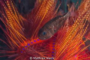 Sea urchin with juvenil fish by Mathias Weck