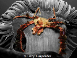 Hanging on - Crab (Inachus sp) on Snakelocks anemone (Ane... by Gary Carpenter