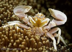 """I surrender!"" Porcelaine crab from Lembeh. D200 & 105. by Dr Bob Whorton"