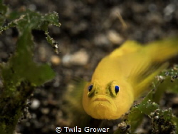 Yellow goby by Twila Grower