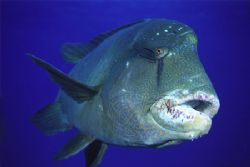 This adolescent Napoleon Wrasse had been snacking on a se... by Richard Smith