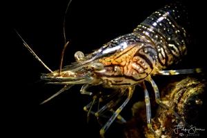 common prawn(Palaemon serratus), Zeeland, The Netherlands. by Filip Staes