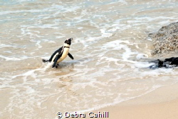 African Penguin - Heading Home - Boulders Beach South Africa by Debra Cahill