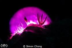 Title : Purple Moon Location : Sibuan Island, Semporna, ... by Simon Chong