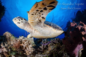Turtle in Palancar, Cozumel México by Alejandro Topete
