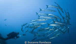 barracudas wide angle by Susanna Randazzo