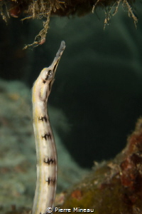 Banded pipefish foraging. Sony rx100iii with Inon 6X wet ... by Pierre Mineau