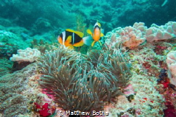 Clownfish in a heart-shaped Anemone by Matthew Botha