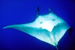 Manta Ray, halfway through a barrel-roll in front of me--... by Andrew Dawson