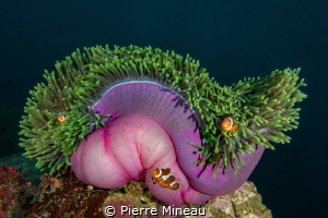 False anemone clownfish on their nec plus ultra home. by Pierre Mineau