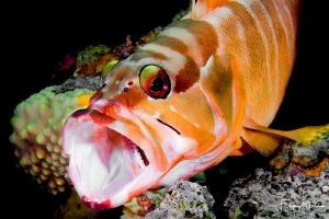 Blacktip grouper, Dahab, Red sea. by Filip Staes