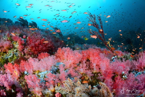Pink coral garden, The canyons, Puerto Galera, The Philip... by Filip Staes
