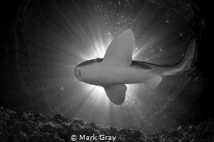 Leopard Shark Black and white sunburst by Mark Gray