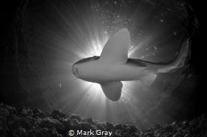 Leopard Shark Black and white sunburst by Mark Gray