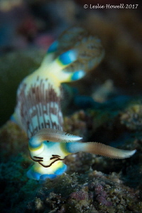 Nudibranch at Wakatobi by Leslie Howell