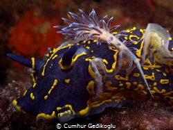Hypselodoris picta with Cratena peregrina by Cumhur Gedikoglu