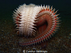 Astropecten aranciacus Red comb sea star by Cumhur Gedikoglu