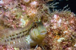 Seaweed Blenny? Taken on the wreck of the Gill off the No... by Michael Shope