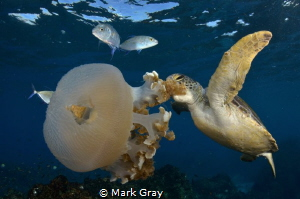 Green Turtle feeding on jellyfish by Mark Gray