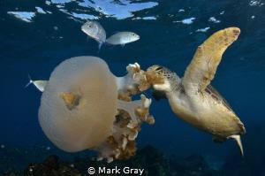 Green Turtle feeding on jellyfish by Mark Gray