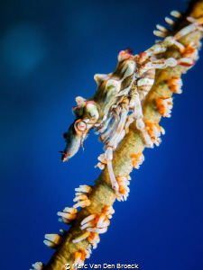Sea mouse by Marc Van Den Broeck