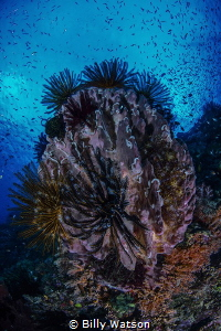 Witch Doctor —  Barney's Reef, Fathers Reef, Papua New Gu... by Billy Watson