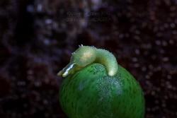 Oxynoe olivacea by Wayne Jones