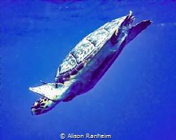 Grand Cayman Turtle by Alison Ranheim