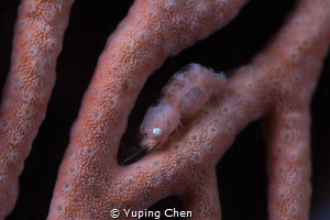 Commensal Shrimp/Raja Ampat, Indonesia/Canon 5D MarkIII, ... by Yuping Chen