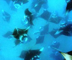 crazy mantamany feeding in the open sea by Corina Swan