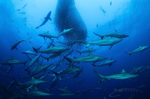 """~ Which is Which ~ When the """"shark ball"""" becomes bigger ... by Geo Cloete"""
