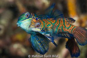 Mandarin mating. by Mehmet Salih Bilal