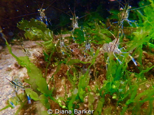 Happy clutch of shrimplets by Diana Barker