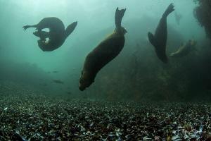 Cape fur seals, Patridge point, False bay, South Africa. by Filip Staes