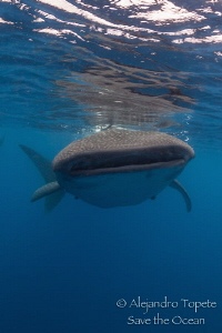 Whaleshark and reflex, Isla contoy Mexico by Alejandro Topete