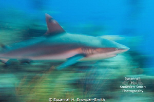 """A Shark In Motion Tends To Stay In Motion"" - Panning whi... by Susannah H. Snowden-Smith"