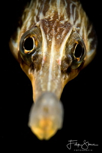 Close up of a Greater pipefish (syngnathus acus) Zeeland,... by Filip Staes