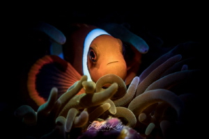 S P E C I A L Anemone Clownfish by Lilian Koh