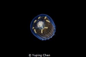 Jellyfish/Wakatobi,Indonesia, Canon 5D MarkIII, 100mm mac... by Yuping Chen