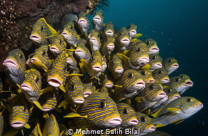 Sweetlips. by Mehmet Salih Bilal