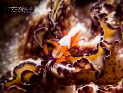 C O M M U T E R Emperor Shrimp by Ton Ghela