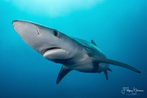 Blue shark, off coast, South Africa. by Filip Staes