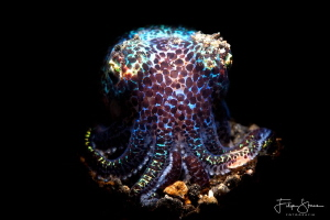 Bobtail squid, Lembeh, Indonesia by Filip Staes