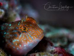 Blenny found in shallows in Zonqor - Marsaskala  by Christian Llewellyn