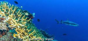 Shark at Tubbataha reef by Mathias Weck