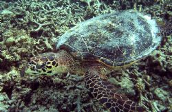 I just love swimming with the turtles. They are so peacef... by Shawn Holm