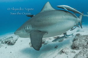 Bull Shark pregnant, Playa del Carmen México by Alejandro Topete