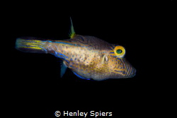 Sharpnose Puffer by Henley Spiers