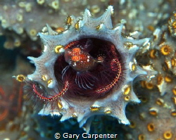 Lionfish (Pterois volitans) - Juvenile, Picture taken in ... by Gary Carpenter