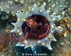 Lionfish (Pterois volitans) - Juvenile, Picture taken in ... by Gary Carpenter
